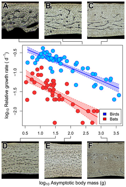 Interspecific scaling of somatic relative growth rate (RGR) in bats and birds.