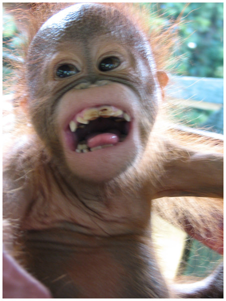 Image of orangutan play face.
