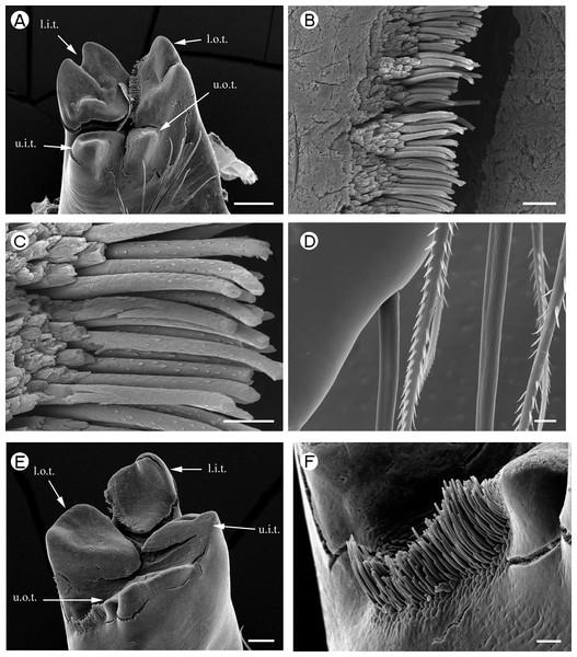 Palaemonidae (Palaemoninae): Palaemon macrodactylus.