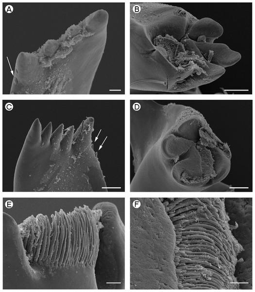 Palaemonidae (Pontoniinae): Pontonia pinnophylax.