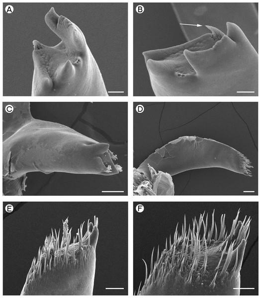 Palaemonidae: Periclimenaeus caraibicus and Hymenoceridae: Hymenocera picta.