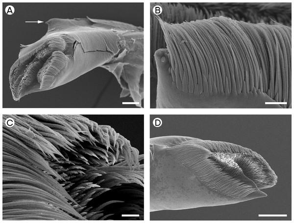 Gnathophyllidae: Gnathophyllum elegans.