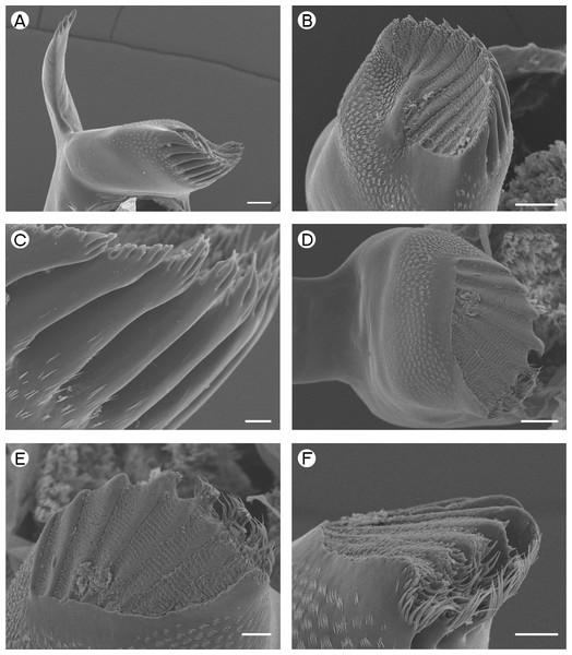 Desmocarididae: Desmocaris bislineata.