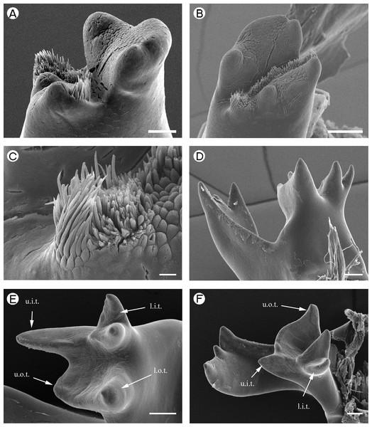 Euryrhynchidae: Euryrhynchus wrzesniowskii and Anchistioididae: Anchistioides antiguensis.