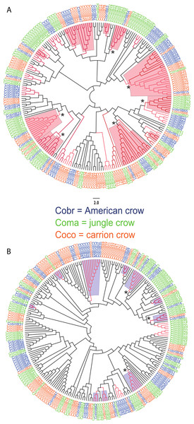 Neighbor joining trees of MHC IIB Exon 2 variants in three species of crows.