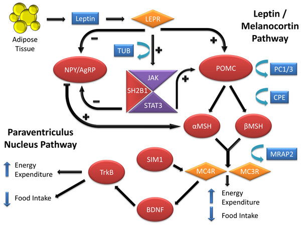 Genes involved in the leptin-melanocortin pathway that have been associated with monogenic obesity through their influence on food intake and energy expenditure.