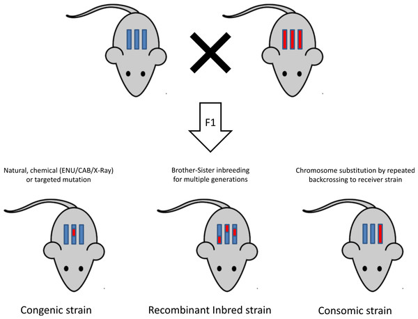 General overview of mutagenesis and inbreeding in mice.