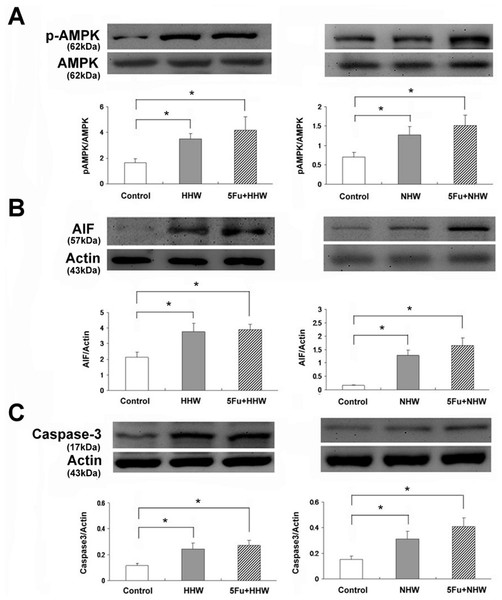 Western blot analyses of p-AMPK, AIF and Caspase 3 for cell apoptosis in colon 26 cells after treatment with HHW or NHW and in combination with 5-FU.