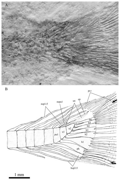 The caudal skeleton and bases of caudal fin rays in SHGM L275.