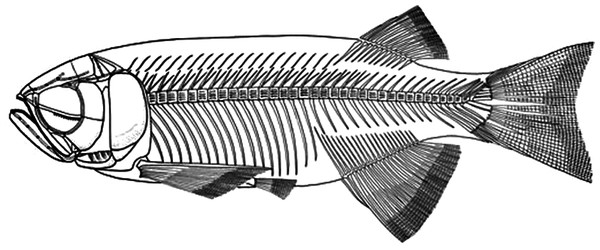 Skeletal reconstruction of Paralycoptera.