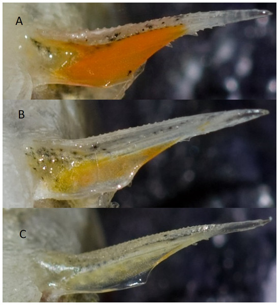 Photos of a pelvic spine from three different sticklebacks.