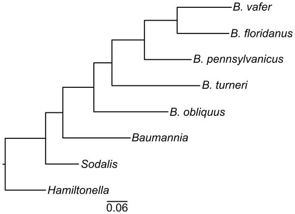 Blochmannia phylogeny.