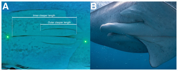 Claspers of (A) an immature male; and (B) a mature male whale shark.