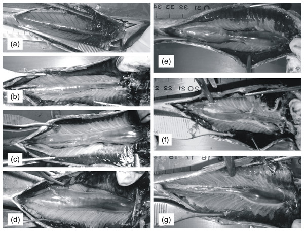 Pictures of sardine swimbladders of various size and shape.