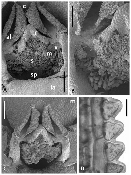 Scanning electron micrographs of flowers and bracts of Icelandic P. hyperborea.