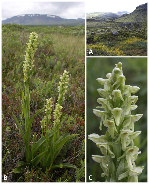 Classic plants and habitats of Platanthera hyperborea on Iceland.