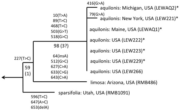 ITS phylogeny of the P. sparsifolia–aquilonis group enlarged from Fig. 4 to show the molecular character-state transitions that separate the nine analysed accessions.