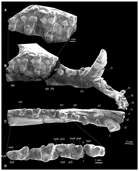 Dentition of Lotheridium mengi (ZMNH M9032).