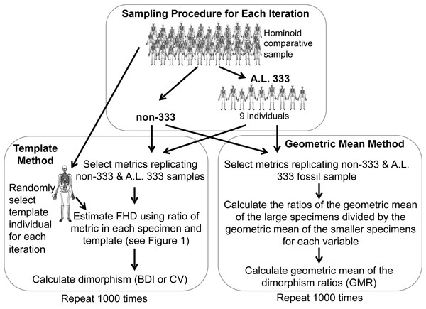 Sampling procedure used to simulate the Template and Geometric Mean Methods in extant humans, chimpanzees and gorillas.