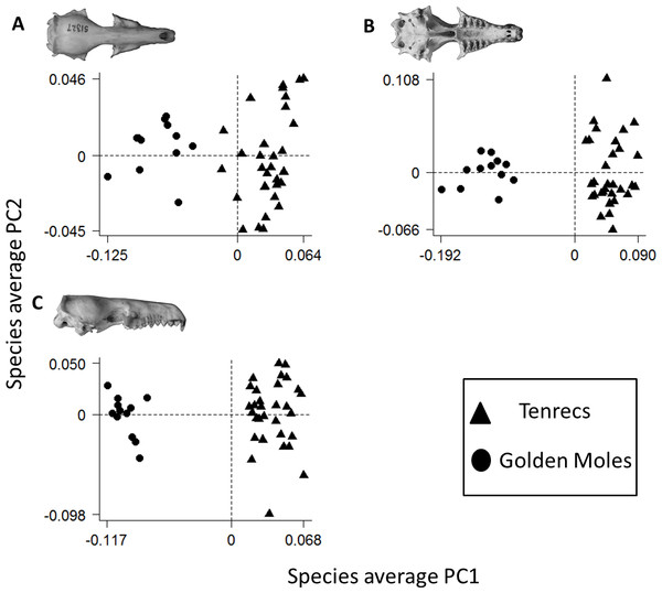 Morphospace (principal components) plot of morphological diversity in tenrec and golden mole skulls.
