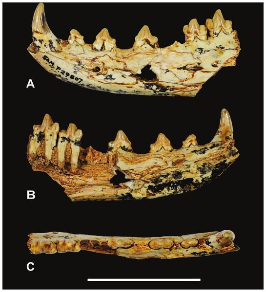 Thylacinus yorkellus, holotype SAM P29807, incomplete left dentary.