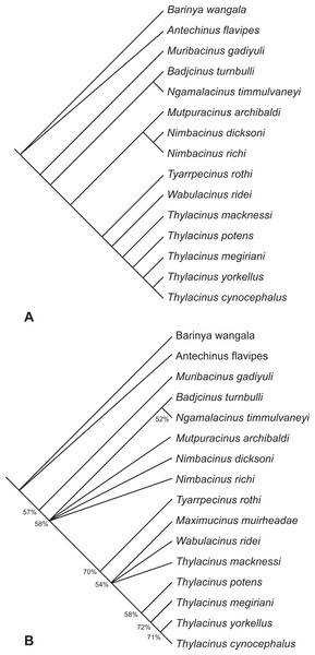 Results of the cladistic analysis of thylacinid interrelationships.