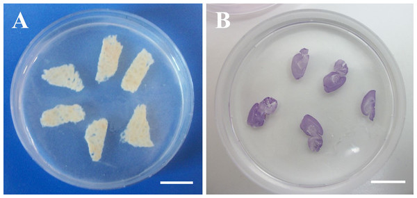 Agarose-embedded tissue slices.