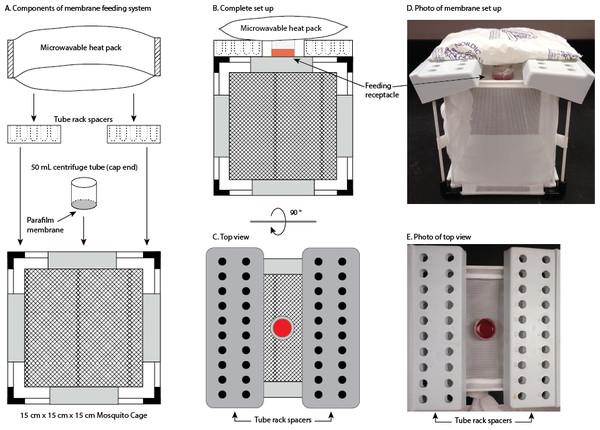 Membrane feeding system.