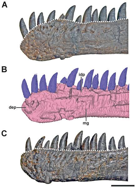 The dentaries of SMA 0005.
