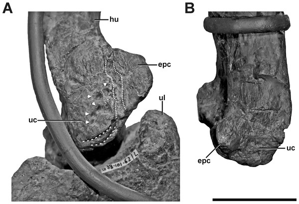 Left and right humerus of SMA 0005.