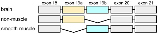 Exon organisation of the C-terminal domain.