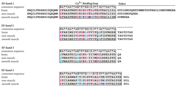Plausible calcium binding loops in the C-terminal domain of α-actinin 1.