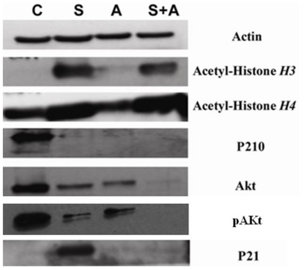 SAHA in combination with ATO showed pronounced changes in protein expression.