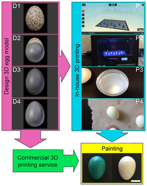Protocol for producing 3D printed replicas of cowbird eggs.