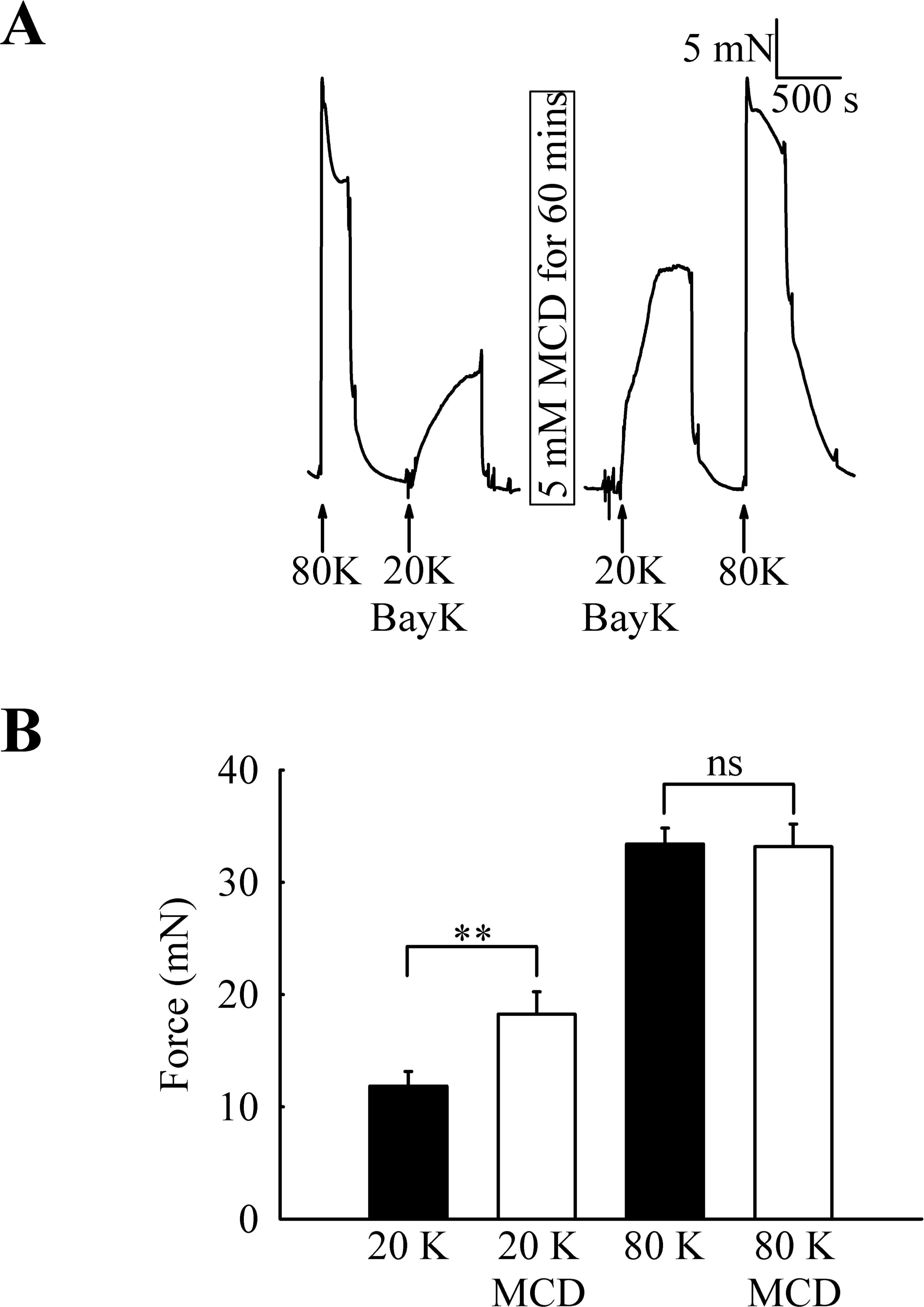Caveolar disruption causes contraction of rat femoral arteries via ...