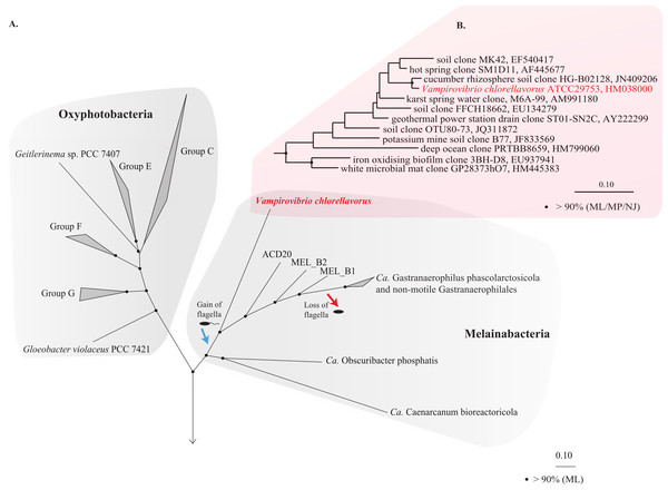 Phylogenetic position of Vampirovibrio chlorellavorus in the phylum Cyanobacteria.