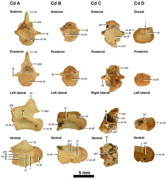 Caudal vertebrae of IVPP V20341.