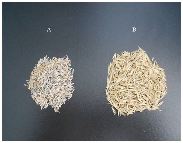 Leymus chinensis seeds without lemmas (A) and withlemmas (B).