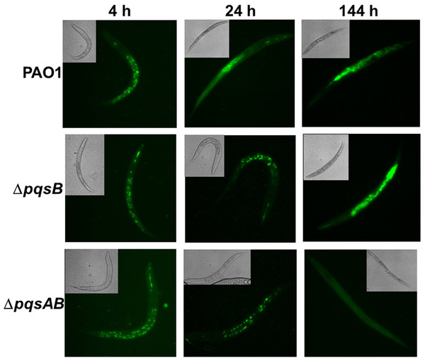 Colonization of C. elegans by P. aeruginosa strains expressing GFP.