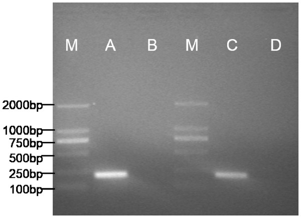 Specific expression pattern of pax7b gene in POMSCS(2n) and POMSCS(3n) cells.