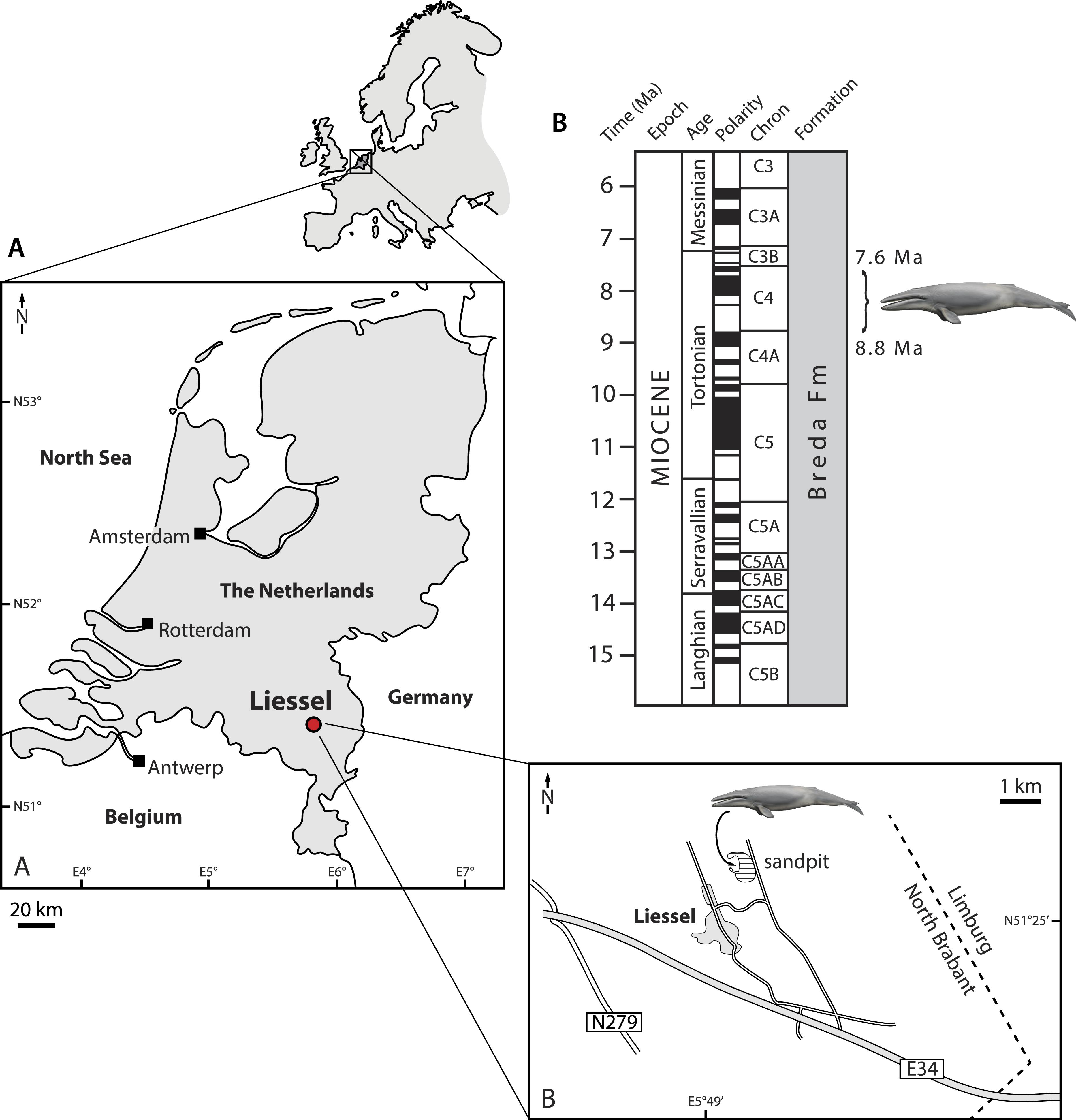 A new species of Metopocetus (Cetacea, Mysticeti, Cetotheriidae ...