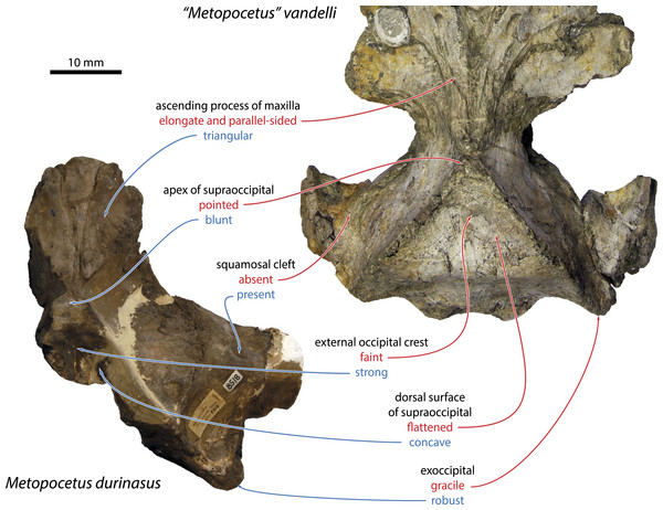 "Morphological features distinguishing ""Metopocetus"" vandelli from M. durinasus and M. hunteri."