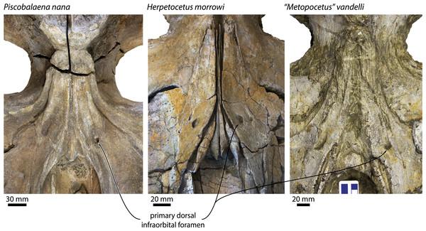 Primary dorsal infraorbital foramen of various cetotheriids.