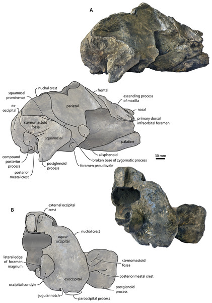 Cranium in lateral and posterior view.