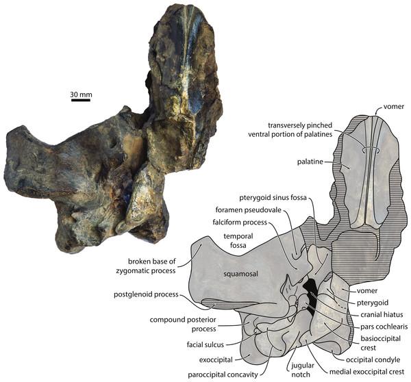 Cranium in ventral view.