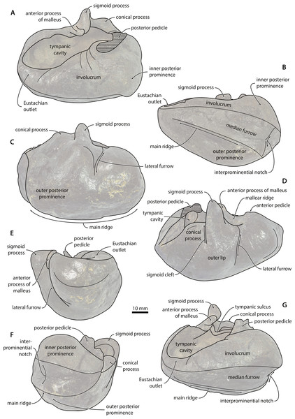 Tympanic bulla—explanatory line drawings.