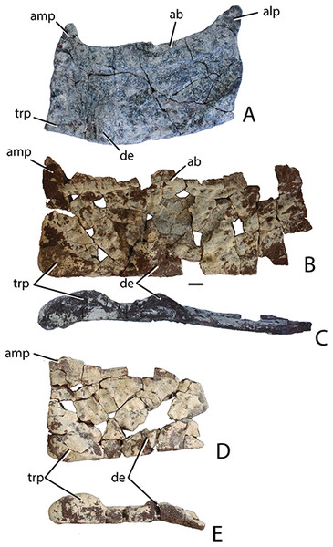 Holotype paramedian osteoderms of Scutarx deltatylus from PEFO 34616.
