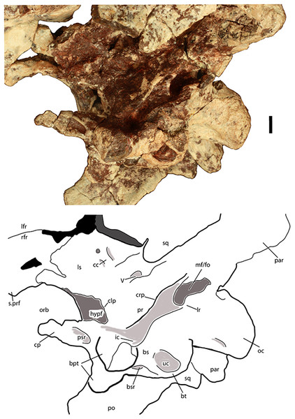 Braincase of Scutarx deltatylus (PEFO 34616) in ventrolateral view.