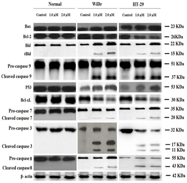 Western blot analysis of cancer and normal cell lines.