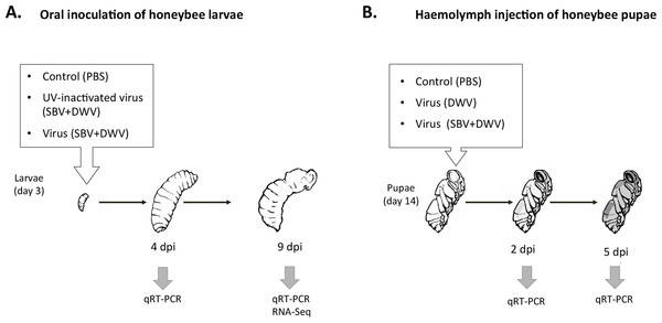 Schematic representation of experimental infection of honeybees with SBV and DWV, (A) larval oral inoculation, and (B) pupal haemolymph injection.
